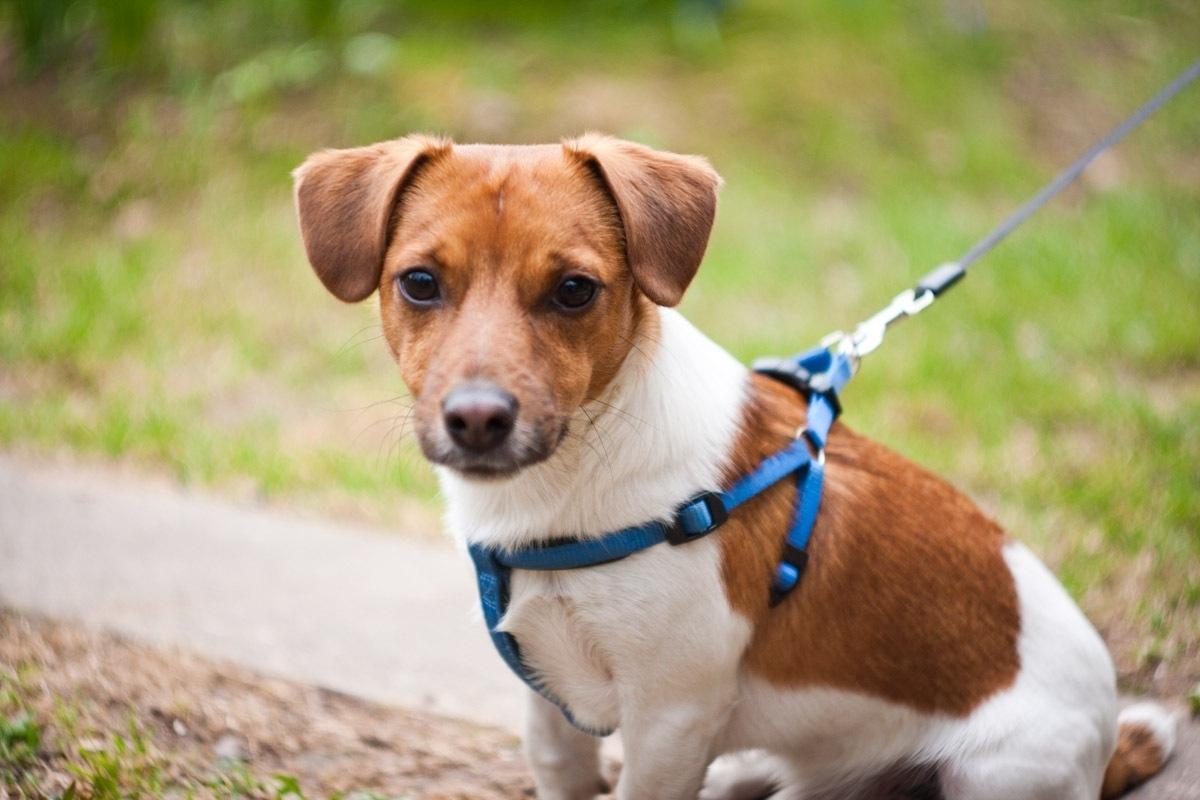 Фото собак породы джек рассел терьер