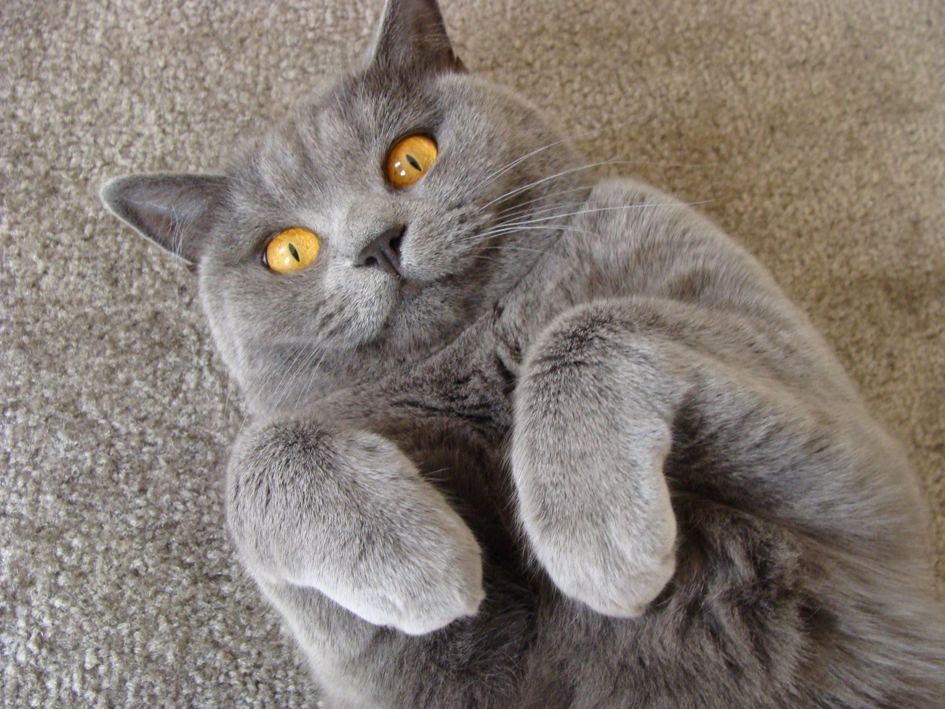 смешные коты британцы картинки согласитесь, готовый вид