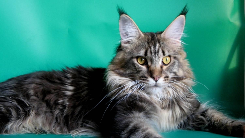 сравнению кошки мейн кун картинки котика