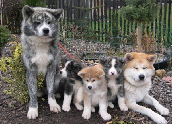 Прикольные собаки Акита-ину (35 фото)