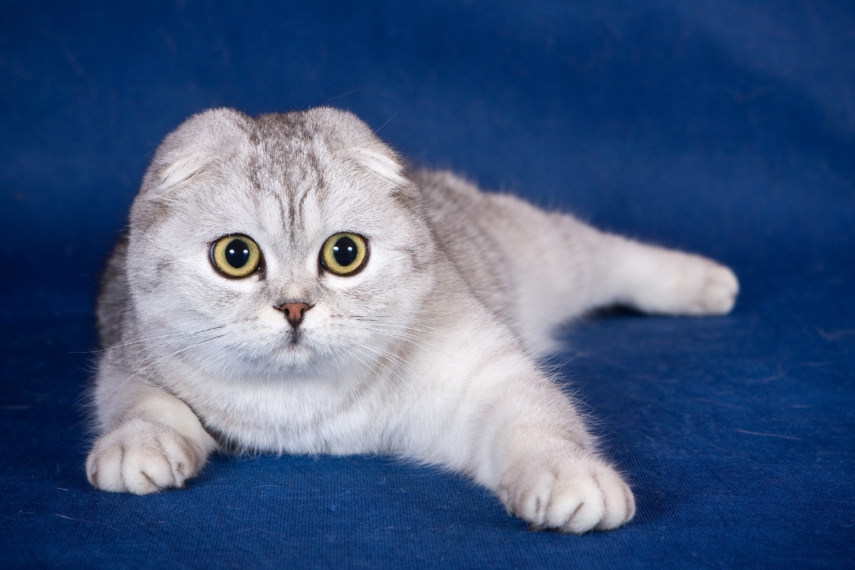 того, вислоухий шотландский кот фотографии поилки относятся