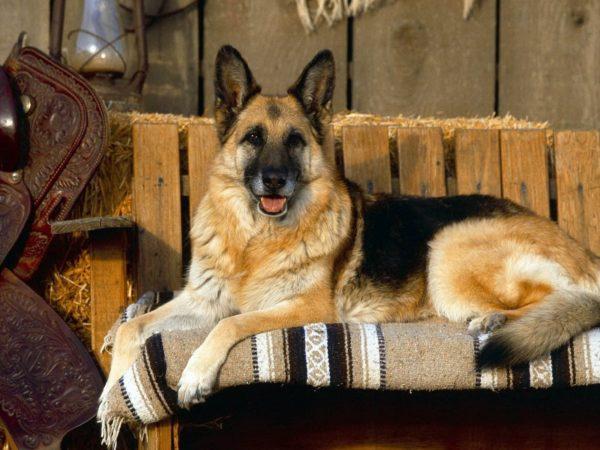 Прикольные Немецкие овчарки (39 фото)