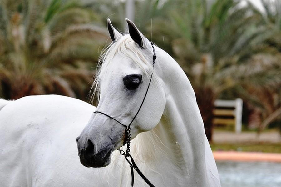 Картинки лошадей породы чистокровная арабская лошадь
